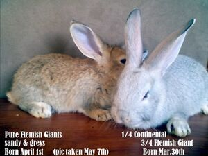 Flemish Giant cross Continental baby rabbits ready may 13th