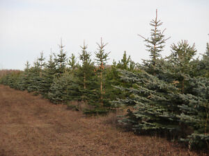 Trees for Sale-Spruce and Pine