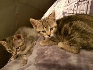 Chaton/kittens/Negotiable