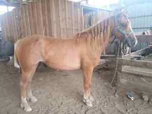 Reg Welsh x 5 year old mare - med size pony - finish her ur way London Ontario image 5