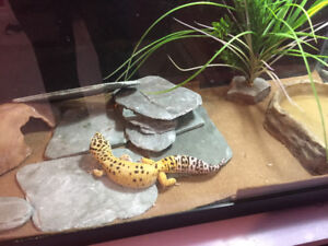 Leopard gecko package deal