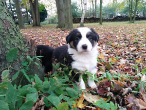 Beautiful Country raised full Border Collie puppies