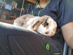 Adorable Male Holland Lop Rabbit/Bunny for sale!