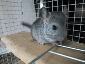 Baby Grey Chinchillas