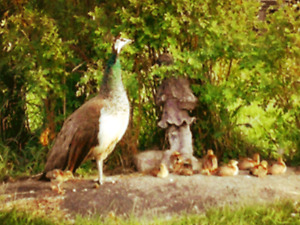 Peacocks and peafowl for sale all ages