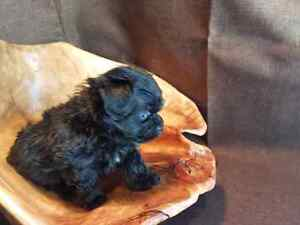 Chipoo (long hair Chihuahua x toy poodle)