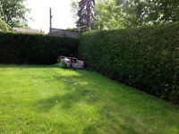 Cedar Trees Fast Growing Privacy Hedges