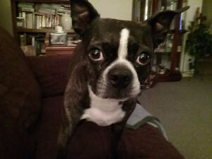 LOOKING FOR A BOSTON TERRIER PUPPY
