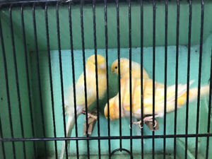 Yorkshire x canaries for sale