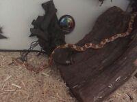 Corn snake and viv
