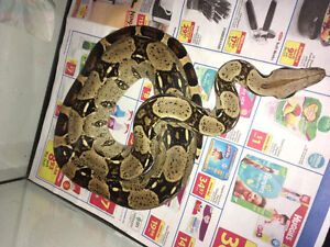 Red tailed boa Homer
