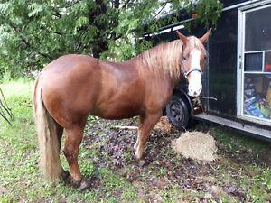 Gelding belge x quarter horse 9ans à vendre