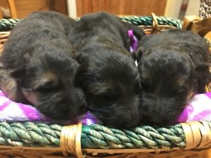 German shepherd pups - AVAILABLE NOW!