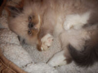 Persian Boy...Cutie ready for his new home
