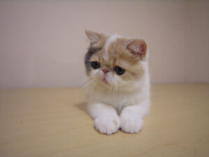 Exotic shorthair kitten. Champion line.