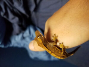 Male and female crested geckos for sale