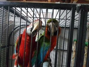 Male Green Wing MaCaw Female Catalina MaCaw-breeding pair