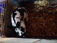 bunny for sale young male