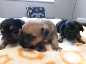 Jackawa puppies