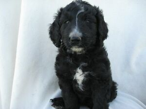 BERNEDOODLE PUPS READY FOR A NEW HOME Kitchener / Waterloo Kitchener Area image 5