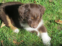 Miniature Australian Shepherd  Male pups 1 female