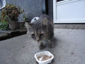 Grey Cat Male Found Windsor Region Ontario image 7