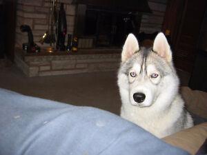 Siberian Husky Pup