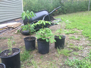Potted Chestnut Trees