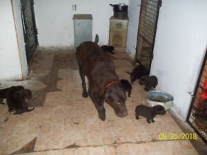Registered Chocolate Lab Pups