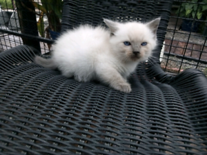 Female and Male Ragdoll kittens available