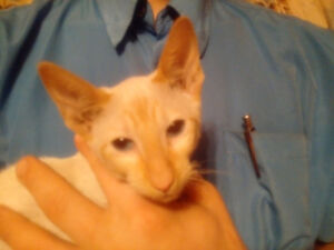 1 PUREBRED RARE CLASSIC SIAMESE FLAME POINT KITTEN LEFT