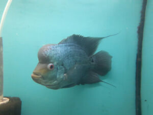 Blue Silk Flowerhorn - male