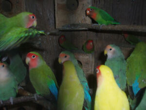 LOVEBIRDS FOR SALE BABIES (READY TO HAND FEE) London Ontario image 2