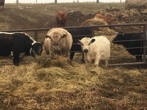 Yearling Speckle Park x Belted Galloway bull for sale