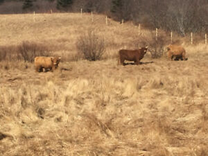 Purebred Highland Fold For Sale