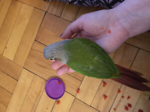 Seven month old conure with Large cage