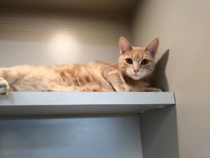 """Maggie"" & ""Molly"" - female orange tabbies for adoption"
