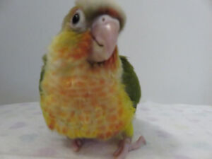 ** HANDFED BABY PINEAPPLE CONURE ** ONLY 1 LEFT TO RESERVE **