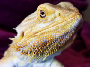 Looking for a bearded dragon!
