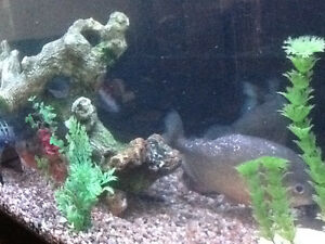 125 gallon fish tank with 4 red belly piranha's - complete Windsor Region Ontario image 6