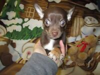 ADORABLE CHIHUAHUAS AVAILABLE