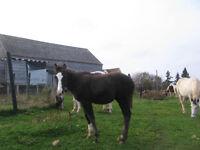 Registered Black Paint Horse