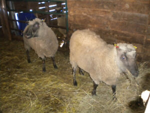 Two purebred registered Clun Forest Rams for sale