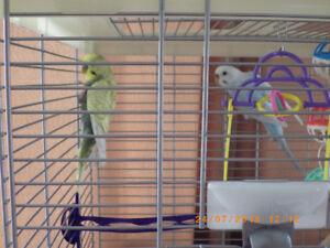 Cage vision,très propre et 2 beaux oiseaux (perruches)