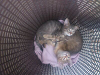 2 FREE RESCUED KITTENS