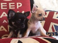 Chihuahua puppies for sale. KC reg: 1 bitch and 2 dogs. Black, fawn or cream / blue. 8 weeks old