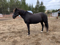 Cheval canadien (hongre) 14 ans