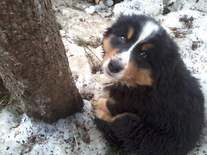 Chiots Colber (Colley Bernois)