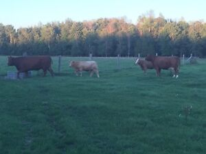 Small cattle herd for sale