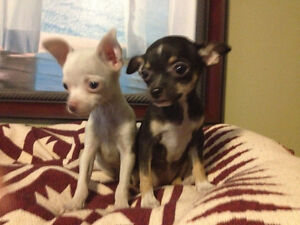 Chihuahua puppies Very Tiny puppies